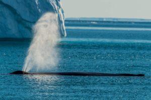 Buckelwal in Grönland