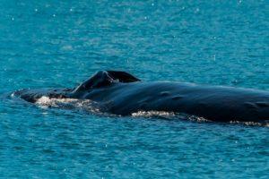 Blasloch eines Buckelwals