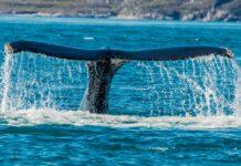 Buckelwal im Nuukfjord auf Grönland