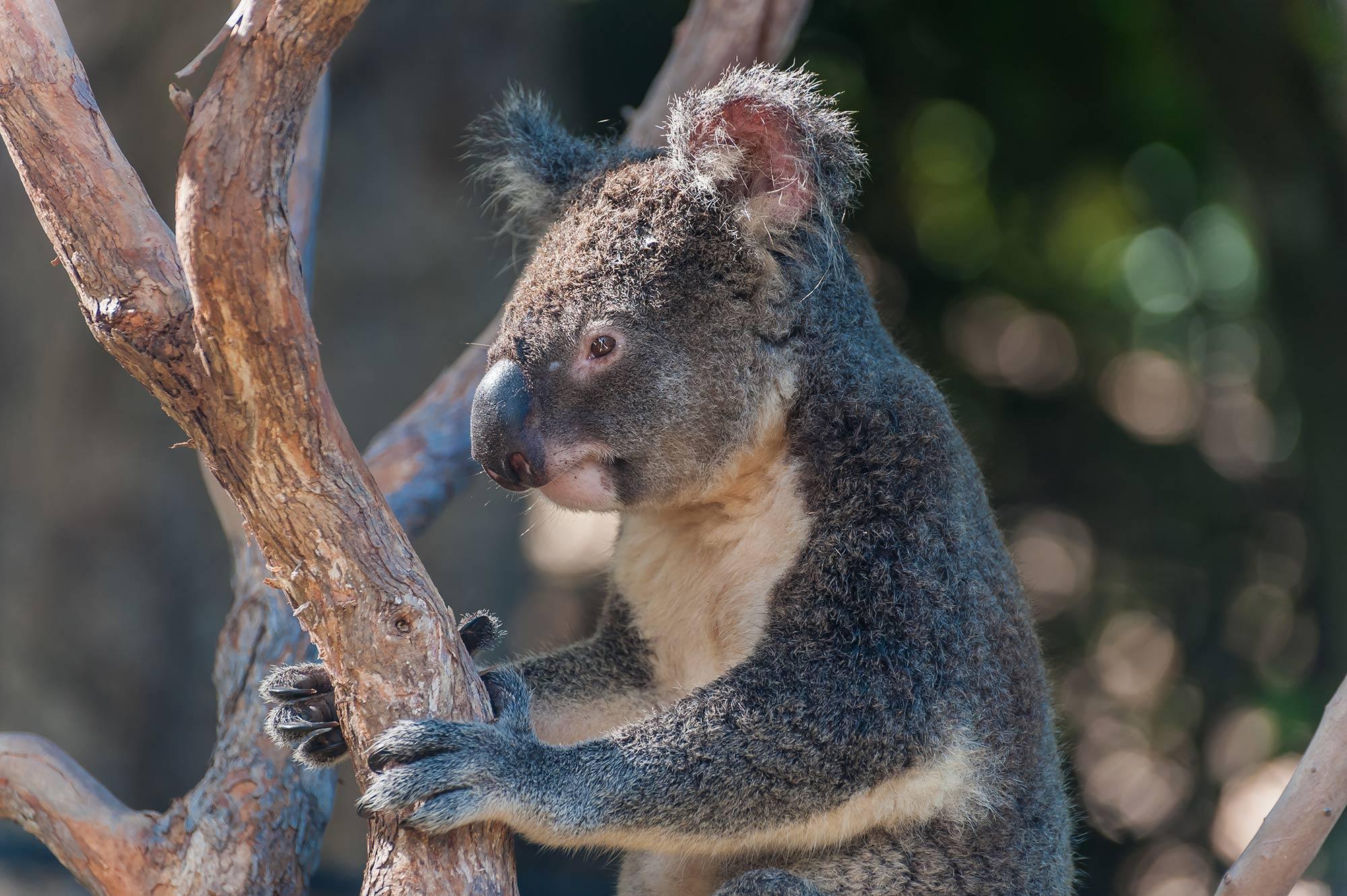 Koala-Australien