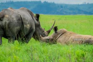 Nashörner in Afrika