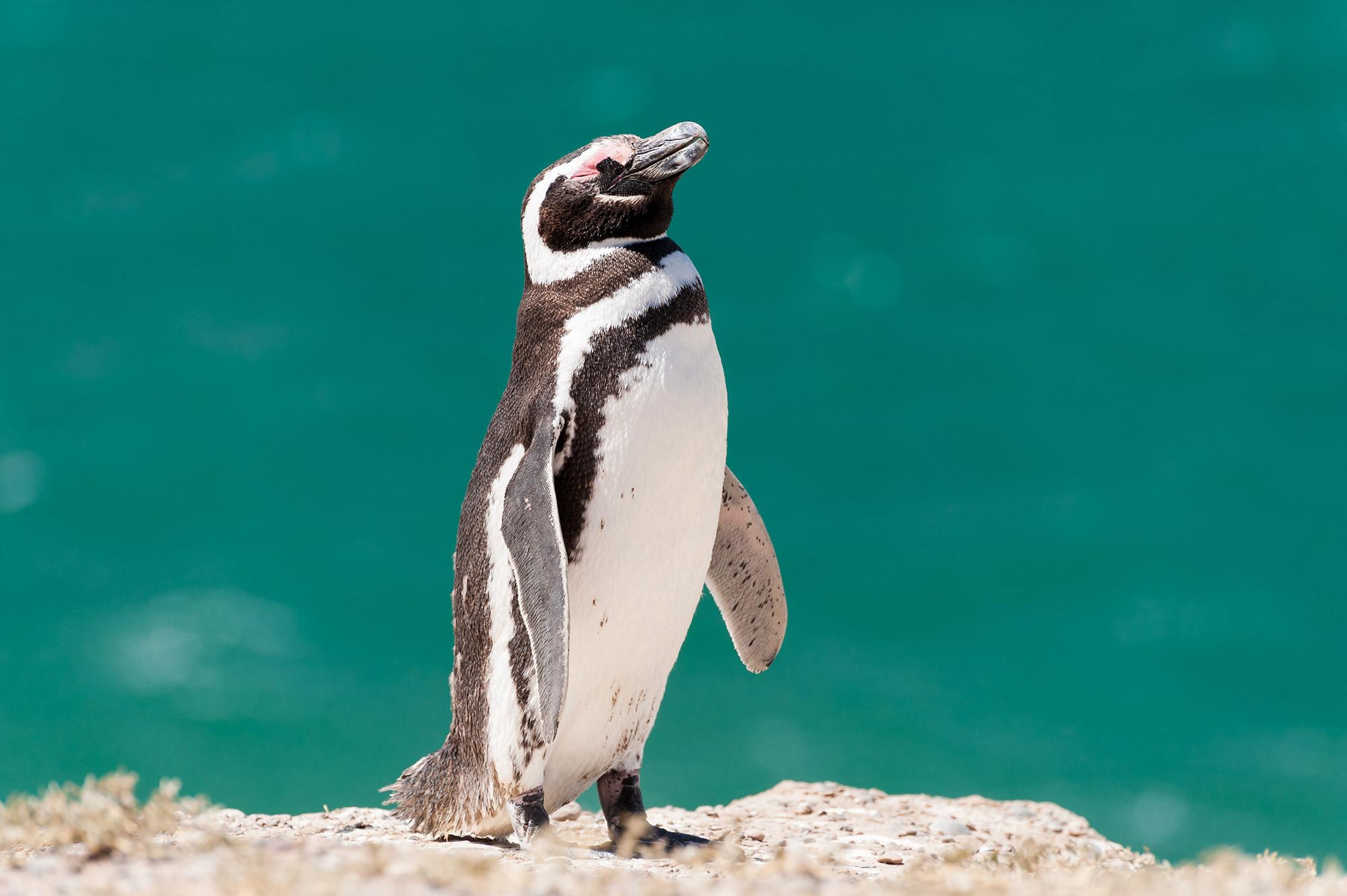 Pinguin_Peninsula-Valdes
