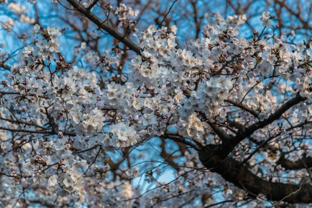 DSC 1695 -Das Erwachen der Kirschblüte in Tokio