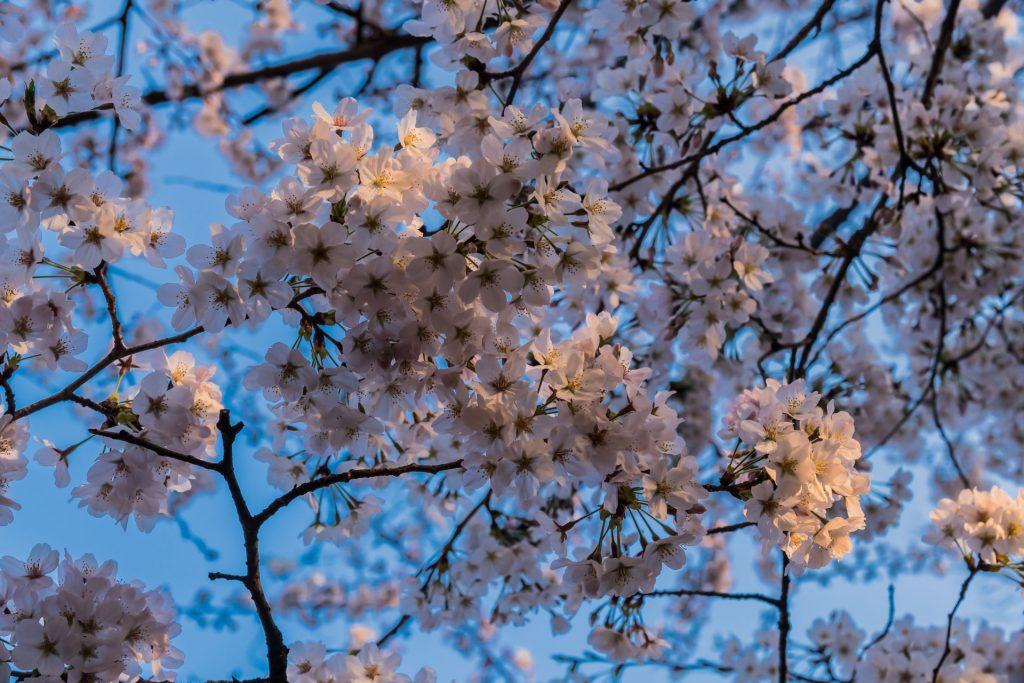 DSC 1702 -Das Erwachen der Kirschblüte in Tokio