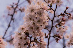 Sakura in Tokio