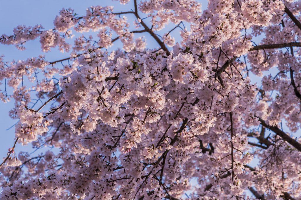 Kirschblüten im Ritsurin Park auf Shikoku