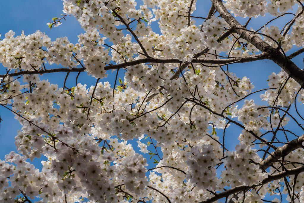 Kirschblüten bei Himeji Castle