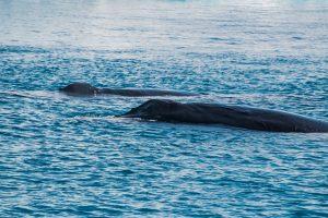 Buckelwale in der Diskobucht