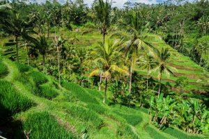 Reisterrassen bei Tegalalang auf Bali