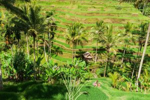 Reisanbau auf Bali
