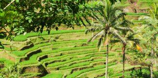 Reisfelder in Terrassenform