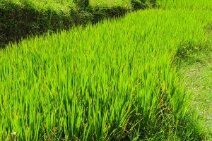 Reispflanzen auf Bali