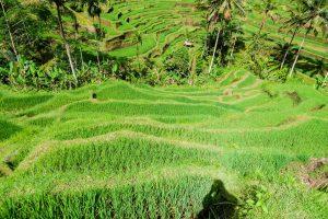 Nassreisanbau in Indonesien