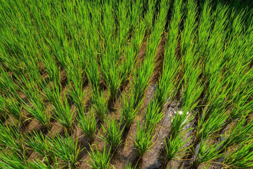 Reispflanzen bei Tegalalang auf Bali