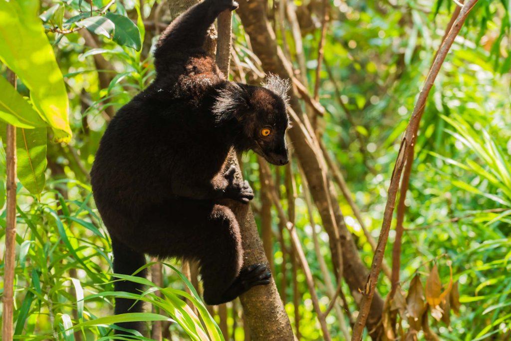 Mohrenmaki Männchen auf Nosy Komba in Madagaskar