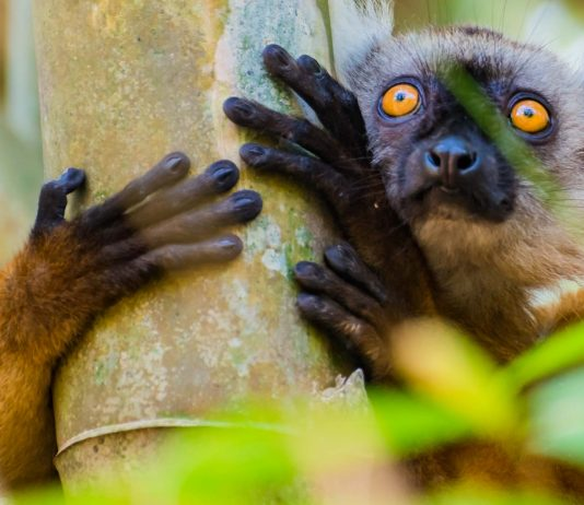 Mohrenmaki auf Nosy Be in Madagaskar