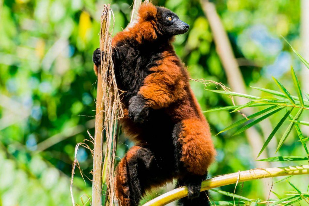 Roter Maki auf Nosy Be in Madagaskar