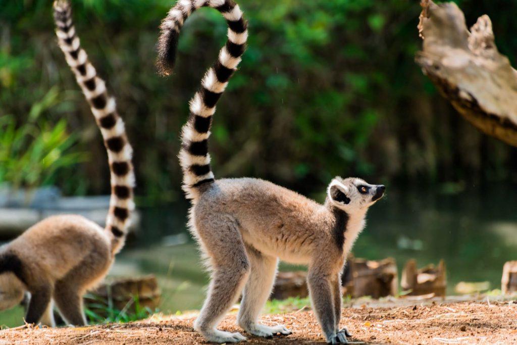 Katta auf Nosy Be in Madagaskar