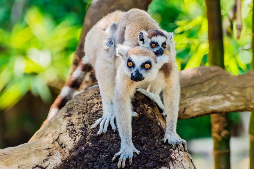 Katta mit Jungen auf Nosy Be in Madagaskar