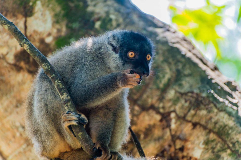 Brauner Maki auf Nosy Be in Madagaskar