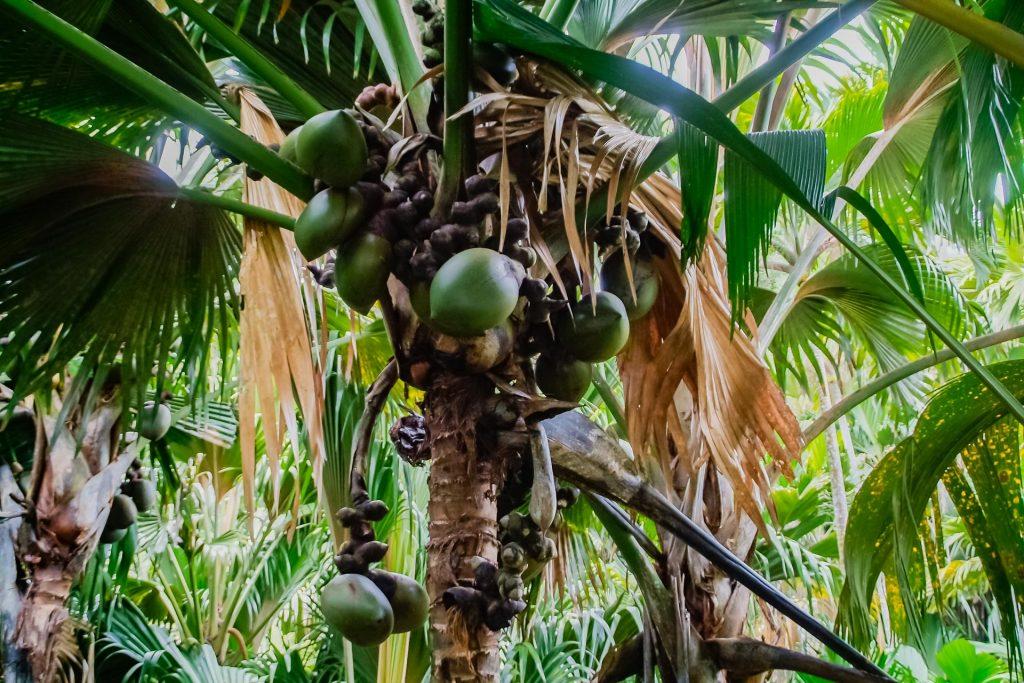Coco de Mer im Vallée de Mai