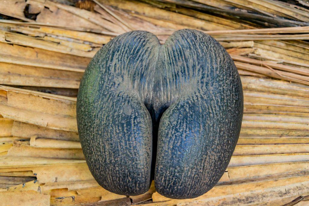 Coco de Mer - der Samen der Seychellenpalme