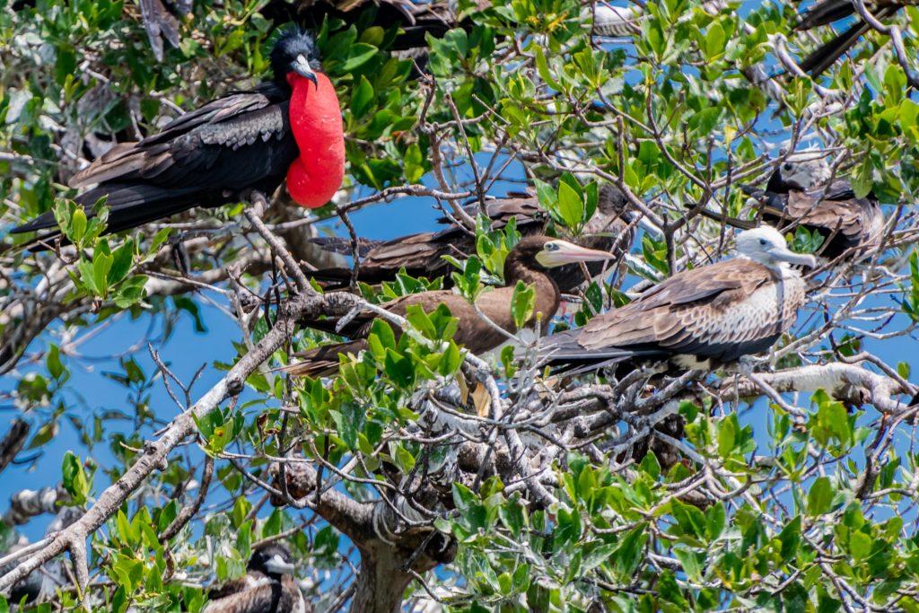 Männlicher Fregattvogel im Belize Barrier Reef