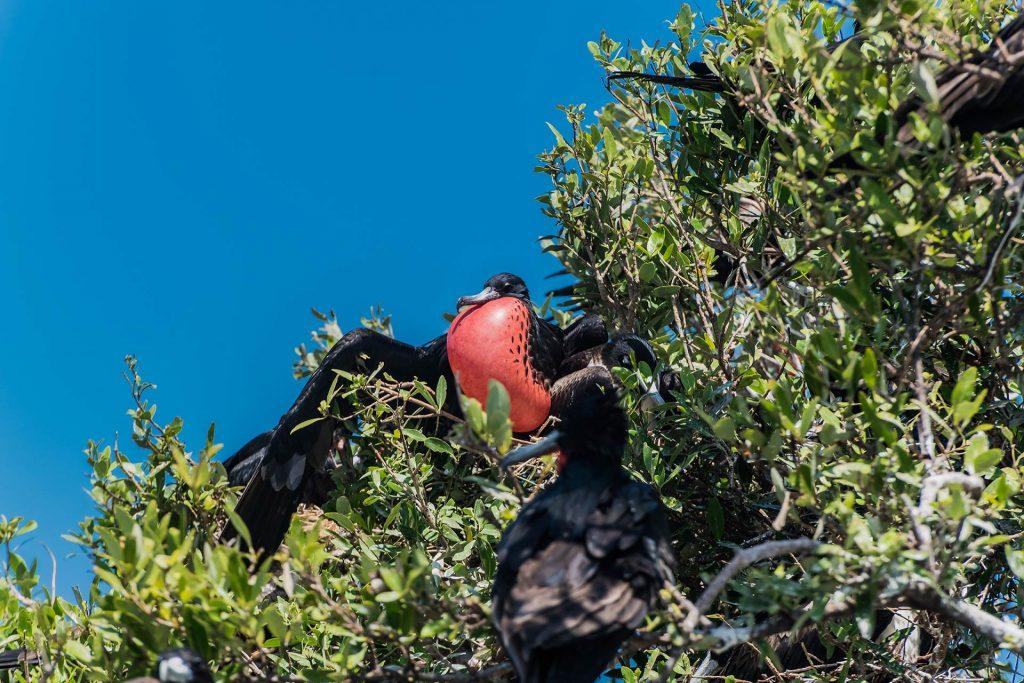 Männlicher Fregattvogel bei der Balz