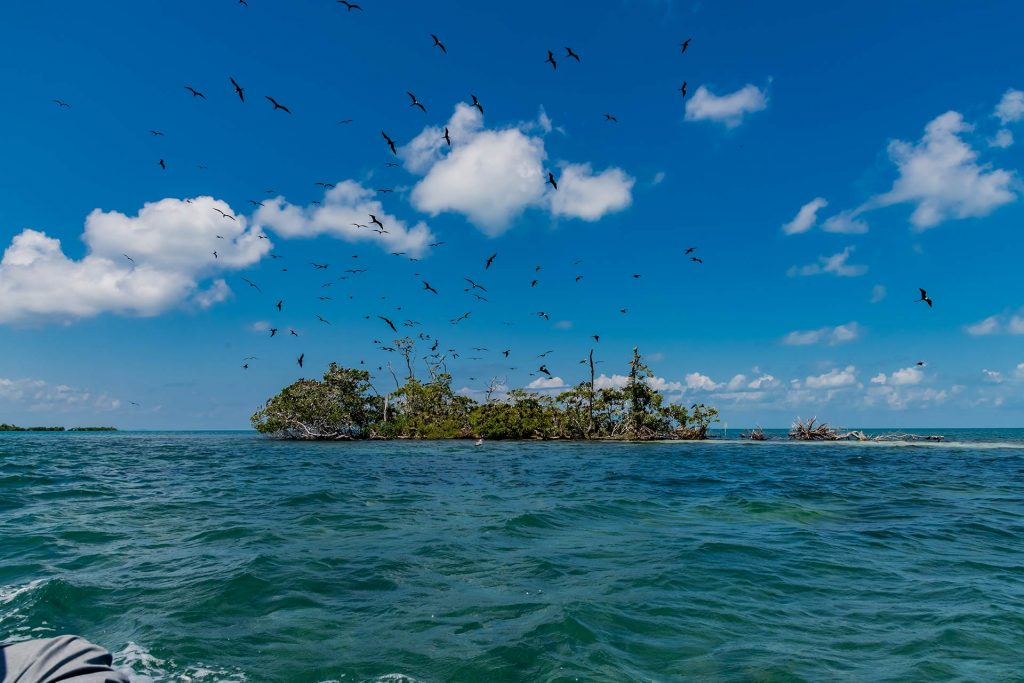 Fregattvogel Insel im Belize Barrier Reef