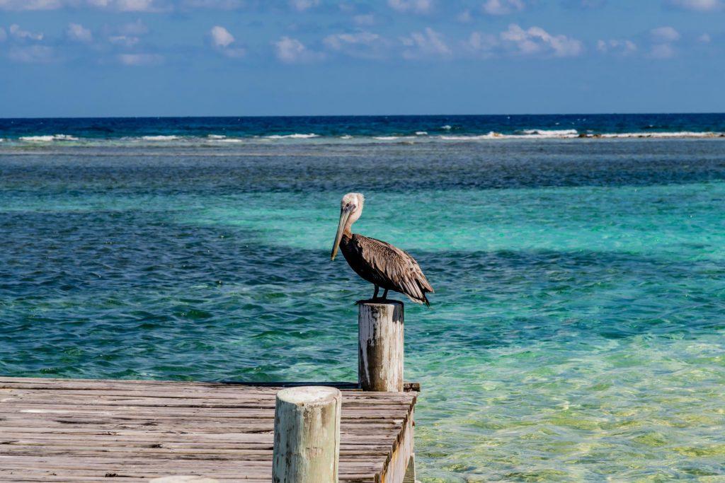 Brauner Pelikan auf Southwater Caye im Belize Barrier Reef