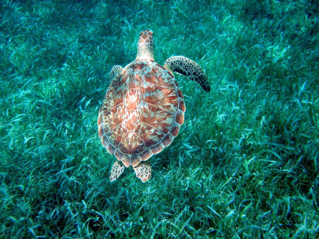 Grüne Meeresschildkröte im Belize Barrier Reef