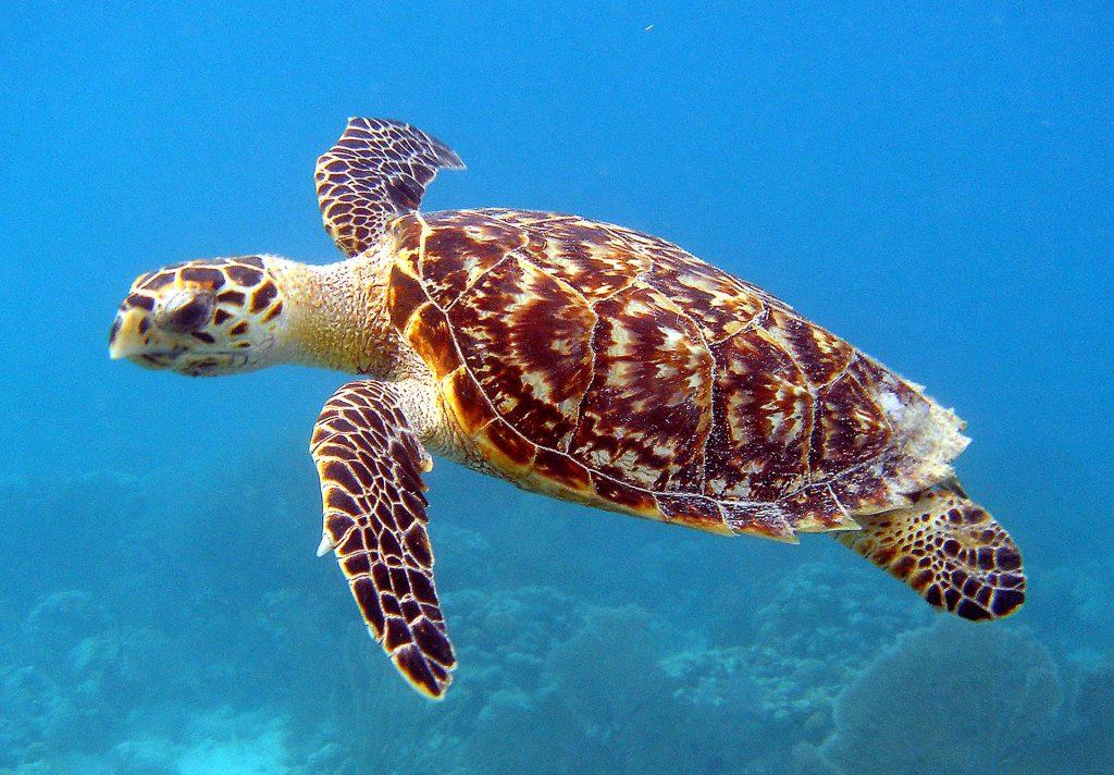 Echte Karettschildkröte im Belize Barrier Reef