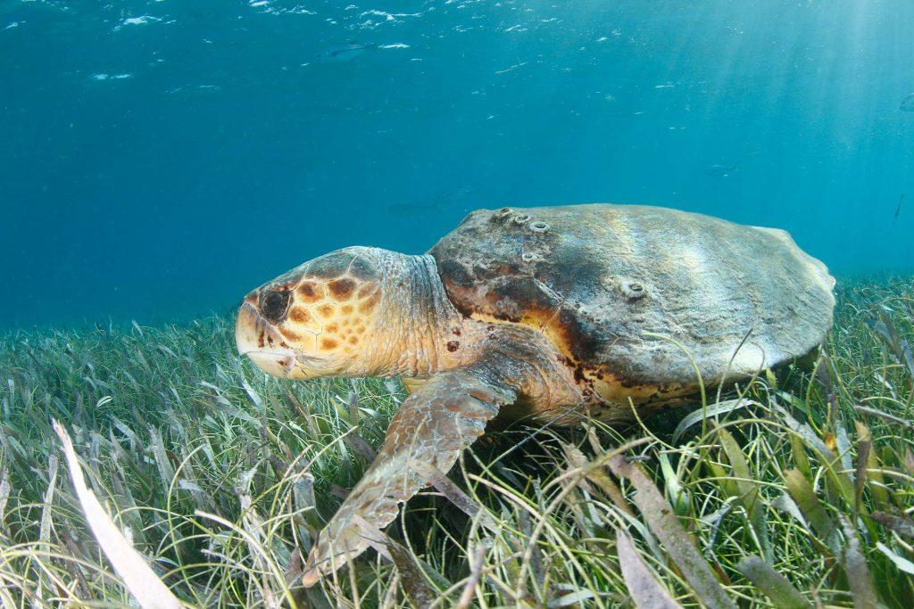 Unechte Karettschildkröte in Belize