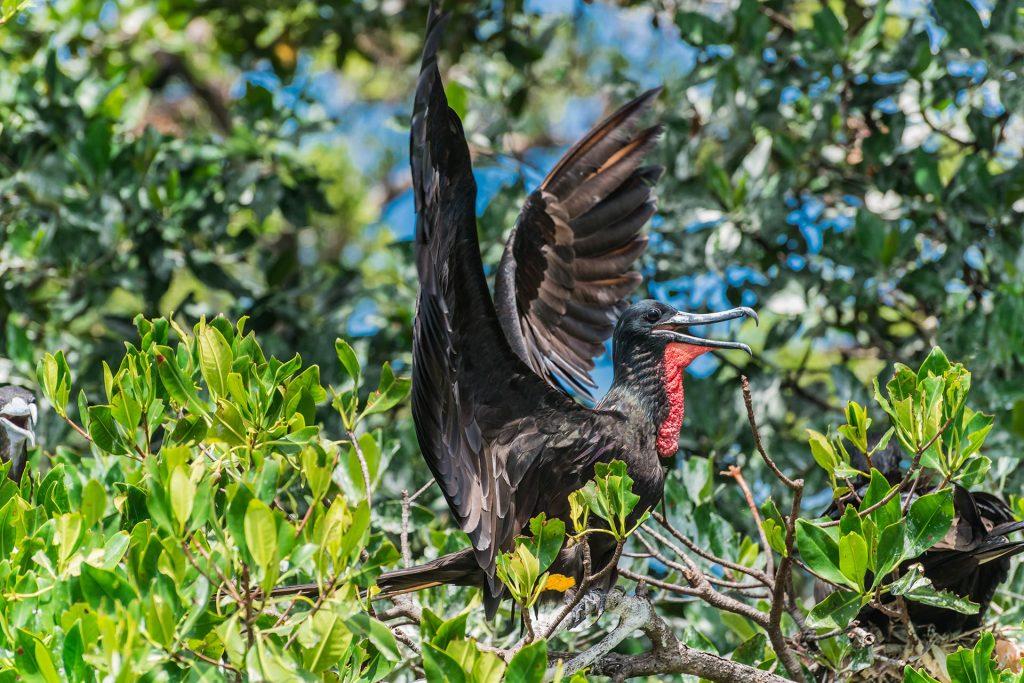 Fregattvogel-Männchen im Belize Barrier Reef