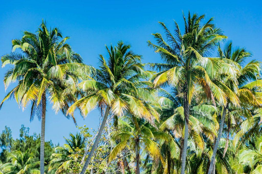 Palmen auf South Water Caye im Belize Barrier Reef