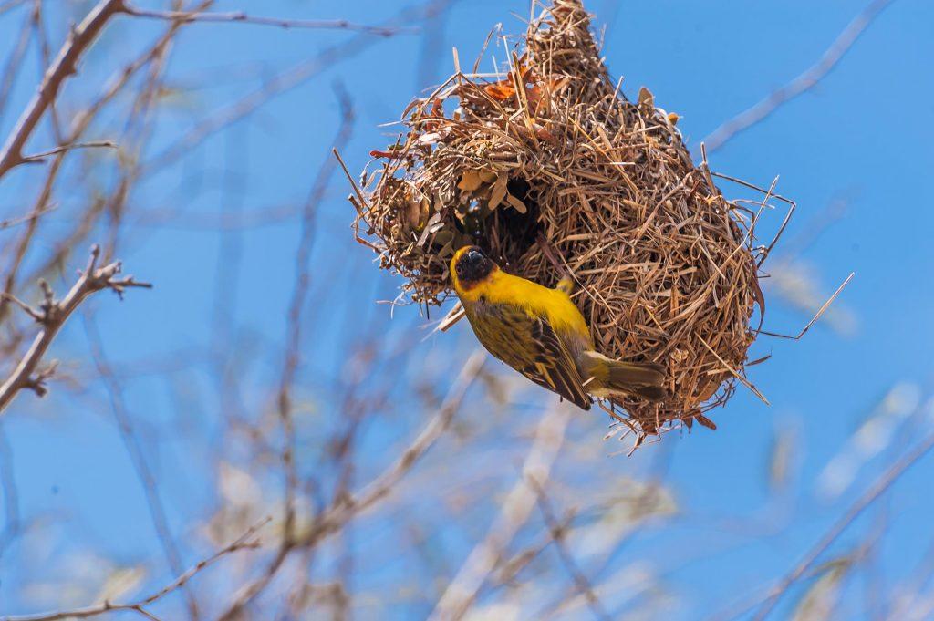 nest eines Webervogels im Oman