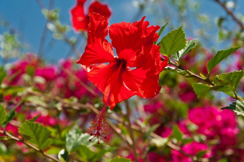 Hibiskus im Oman